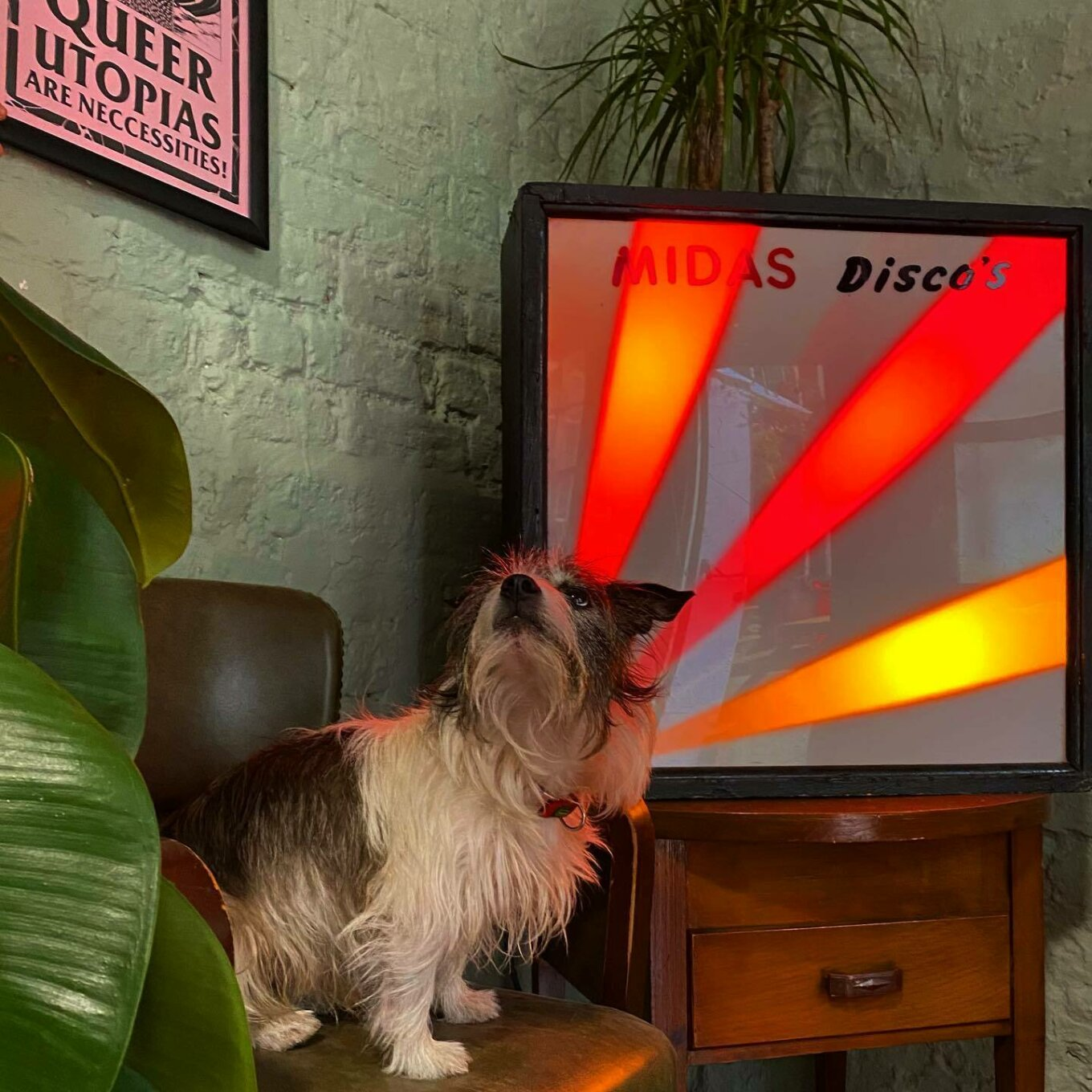 """A Jack Russell sits on a brown leather chair in front of a pale green wall. The dog looks to a pink framed print on the wall, which reads """"Queer utopias are necessities"""". To the right is a woodentable with a retro lightbox that reads 'MIDAS Disco's'."""